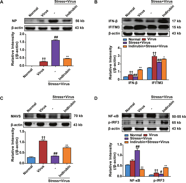 Indirubin promotes IFN-β generation through MAVS antiviral signaling after influenza infection in stressed mice.