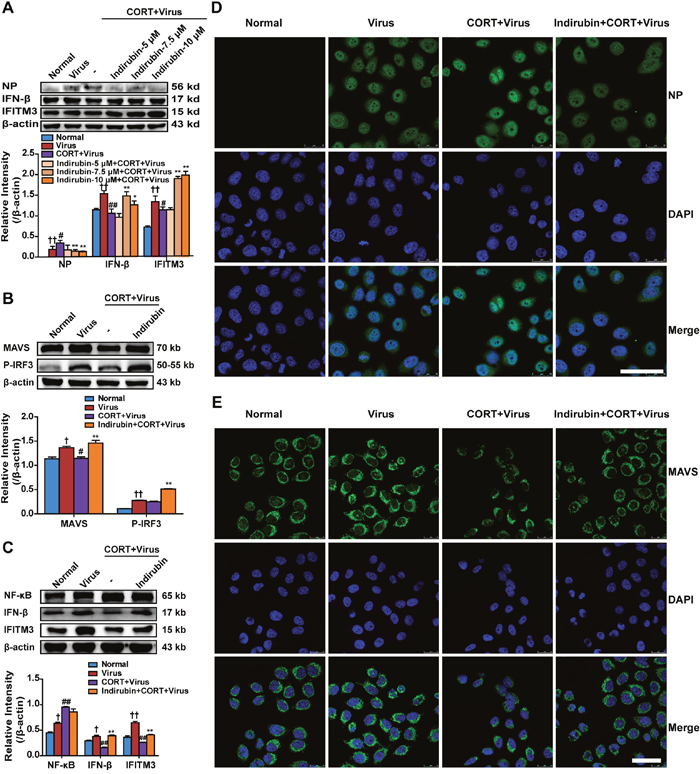 Indirubin promotes IFN-β generation through MAVS antiviral signaling after influenza infection in CORT-loaded A549 cells.