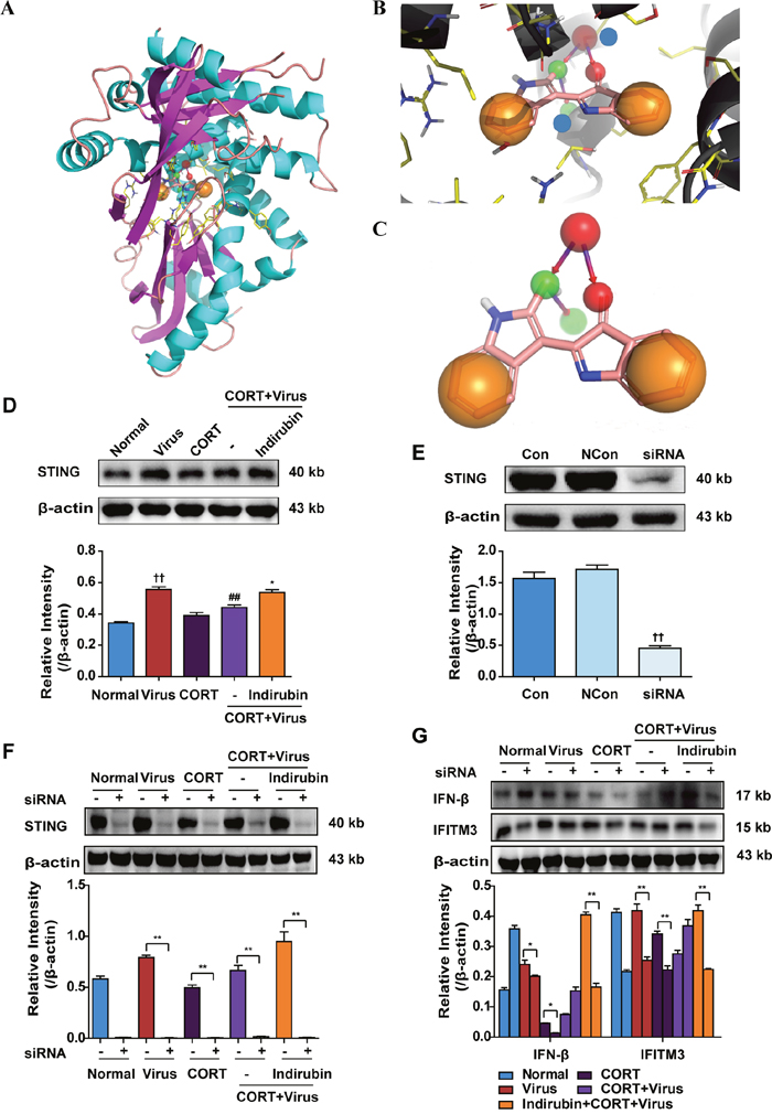 STING is involved in the regulation of IFN-β production by indirubin.