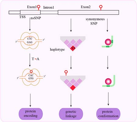 Schematic representation of mechanisms associated with exonal SNPs and cancer susceptibility.