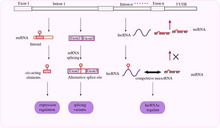 Schematic representation of mechanisms associated with intronal SNPs and cancer susceptibility.