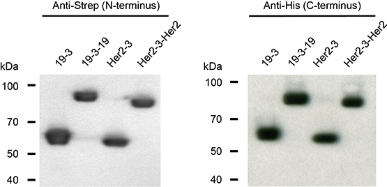 N- and C-termini of triplebody 19-3-19 and control proteins 19-3, Her2-3 and Her2-3-Her2 were intact.