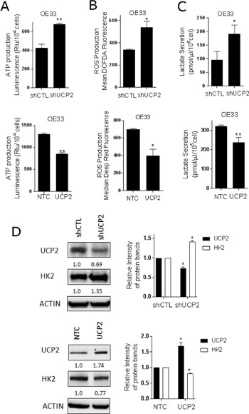 UCP2 modulates mitochondrial function and glycolysis in esophageal cancer cells.