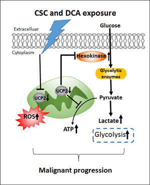 A schematic illustration of a role of UCP2 in bile acids and cigarette smokes-induced metabolic regulation.