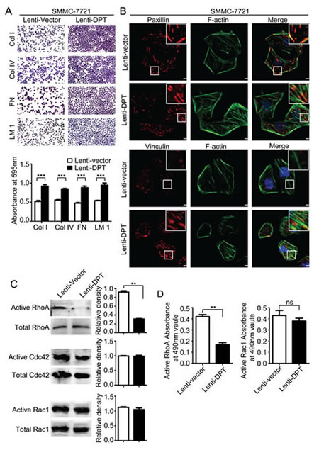 Overexpression of DPT enhances SMMC-7721 cell adhesion and affects focal adhesions and the activity of Rho GTPase.