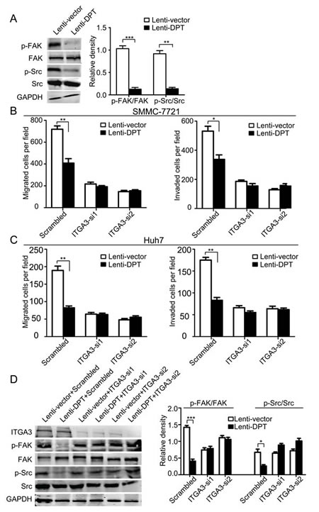 Knockdown of α3 integrin by RNA interference abrogates the attenuated migration and invasion of HCC cells and the modification of integrin-associated signaling caused by DPT overexpression.