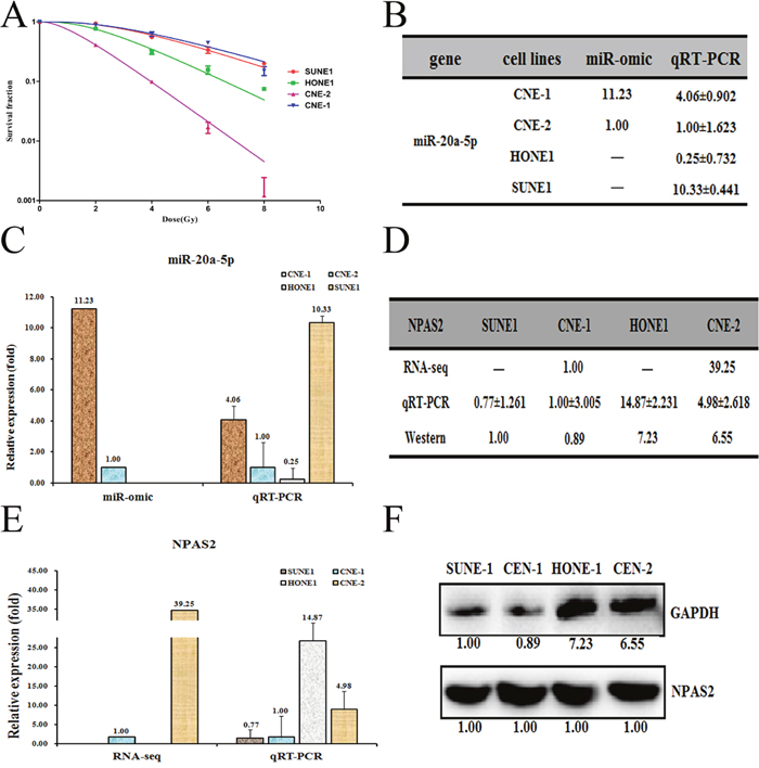 Different expression patterns of miR-20a-5p/NPAS2 in four nasopharyngeal cells SUNE1, HONE1, CNE-1 and CNE-2.