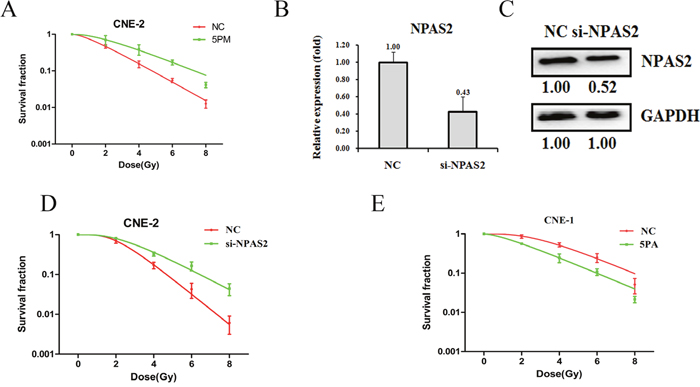 Effects of a forced reversal of the miR-20a-5p or NPAS2 levels on the radio-resistance of CNE-1 and CNE-2 cells.