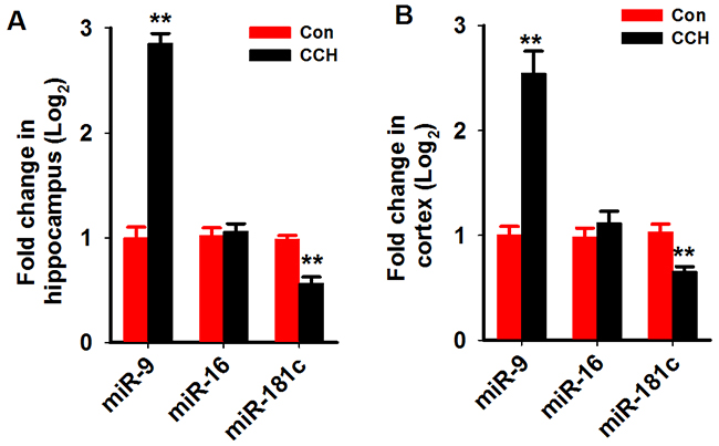 MiR-9-5p is increased in the hippocampus and cortex of CCH rats.