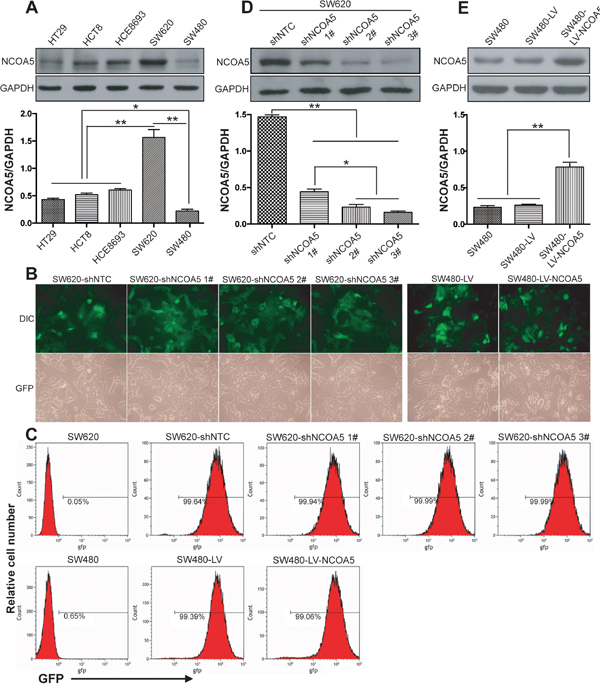 Lentivirus-mediated knockdown and overexpression of NCOA5 in CRC cells.