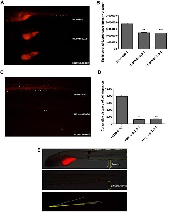 Silencing SOX5 reducesH1299 cell proliferation and metastasis in vivo.