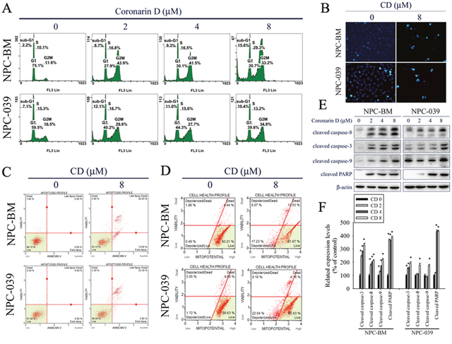 CD induces G2/M phase cell cycle arrest and apoptosis in NPC-BM and NPC-039 cells.