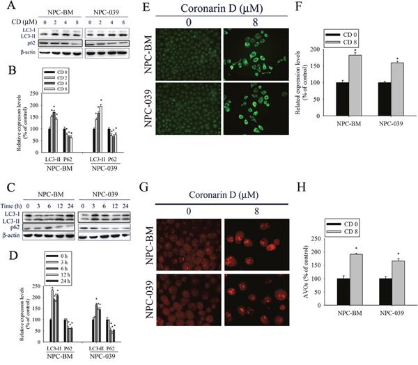 CD induces autophagy in NPC-BM and NPC-039 cells.