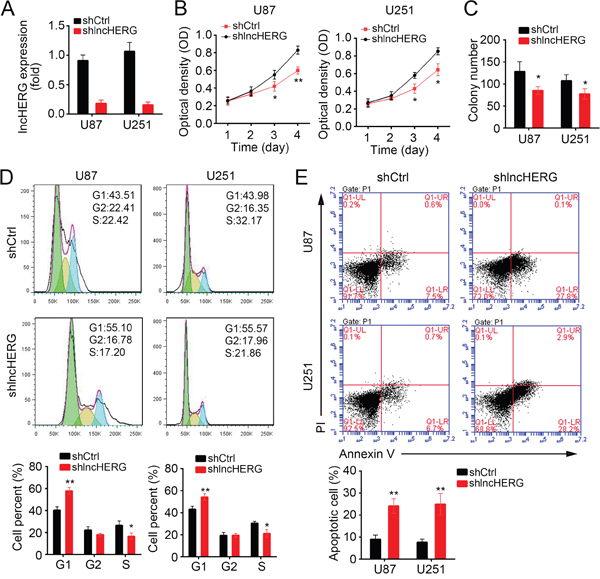 LncHERG promotes cell proliferation and inhibits cell apoptosis.