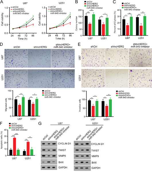 LncHERG promoted cell proliferation, migration and invasion by sponging miR-940 in glioblastoma.