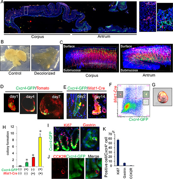 Cxcl12/Cxcr4 axis contributes to antral stem cell niche.