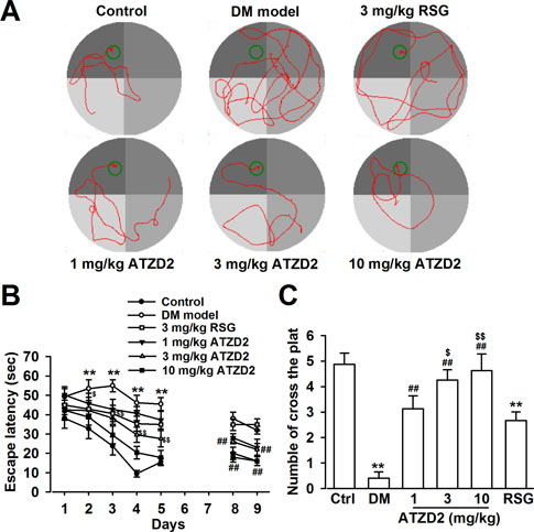 ATZD2 attenuates learning and memory deficits in T2DM rats.