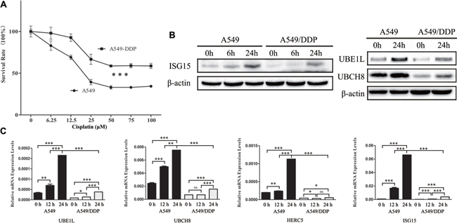 Downregulation of ISG15 and ISGylation-related proteins in cisplatin resistant cells.
