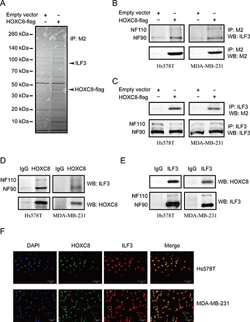 ILF3 interacts with HOXC8 in breast cancer cells.