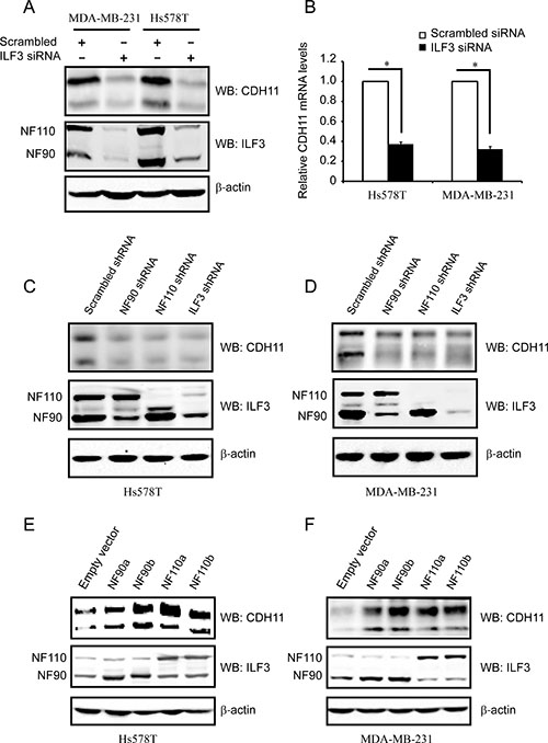 ILF3 activates CDH11 expression in the Hs578T and MDA-MB-231 cell lines.