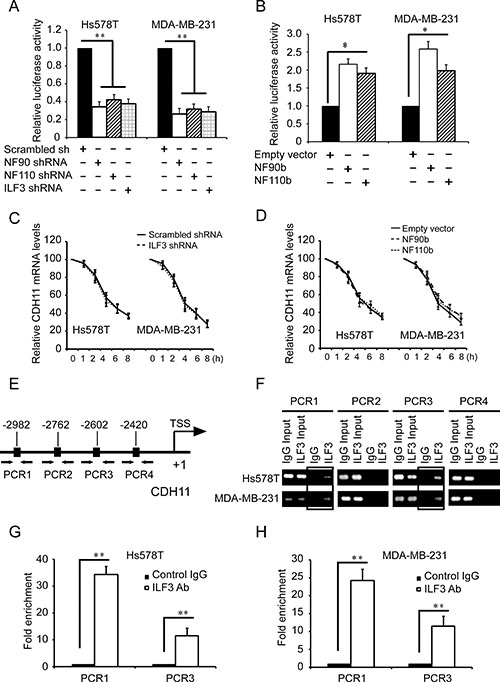 ILF3 binds to CDH11 promoter and activates CDH11 transcription in breast cancer cells.