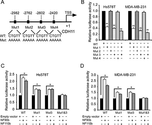Identification of the ILF3 binding sites in the CDH11 promoter by mutagenesis.