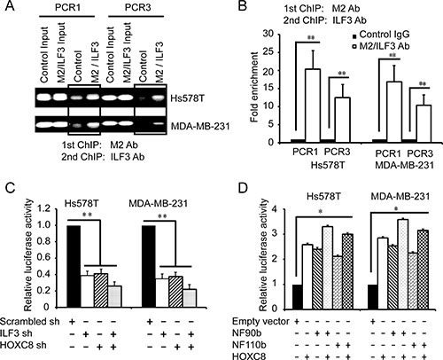 ILF3 and HOXC8 co-occupy the CDH11 promoter to activate CDH11 transcription.