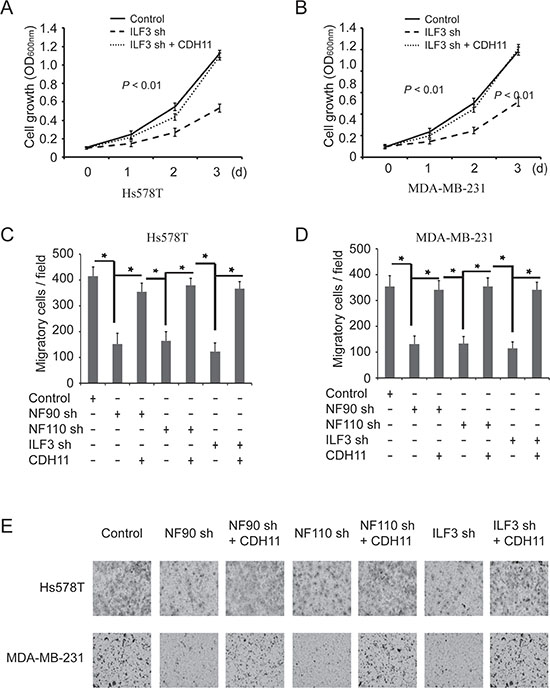 The effects of ILF3 knockdown on cell proliferation and migration are rescued by ecto-expression of CDH11 in breast cancer cell lines.