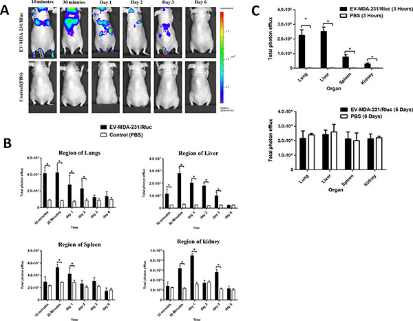 In vivo noninvasive bioluminescent visualization of EV-MDA-231/Rluc biodistribution in nude mice and organ distribution.