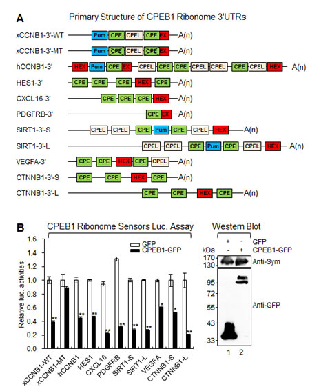 CPEB1 modulates translation of identified target transcripts.