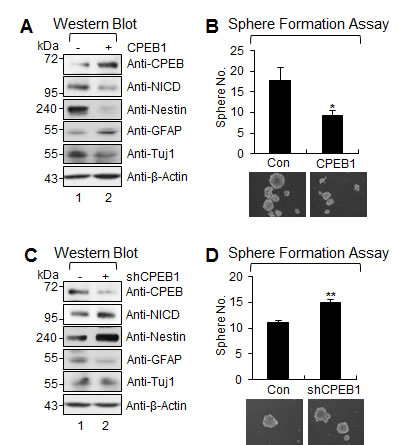 CPEB1 suppresses stemness and self-renewal ability of GSCs.