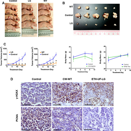 Orally administered lemongrass and white tea extract reduce tumor size in lymphoma xenograft model in immunocompromised mice.