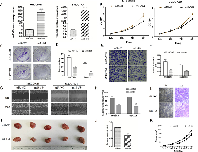 miR-564 inhibits SMCC7721 and MHCC97H cell proliferation, migration and invasion in vitro.