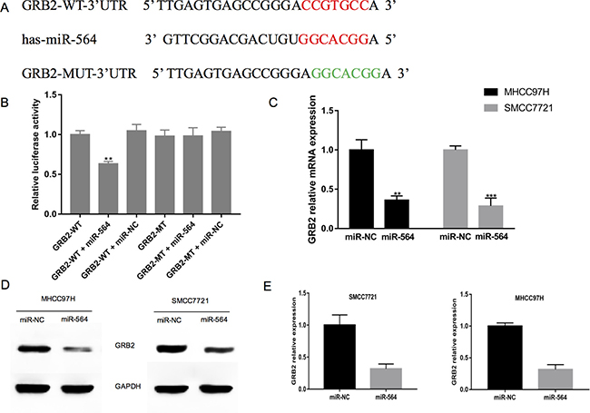 GRB2 is a direct target of miR-564 in hepatocellular cells.