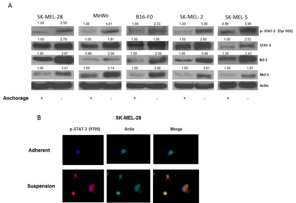 STAT3 is overexpressed in anoikis resistant cells.