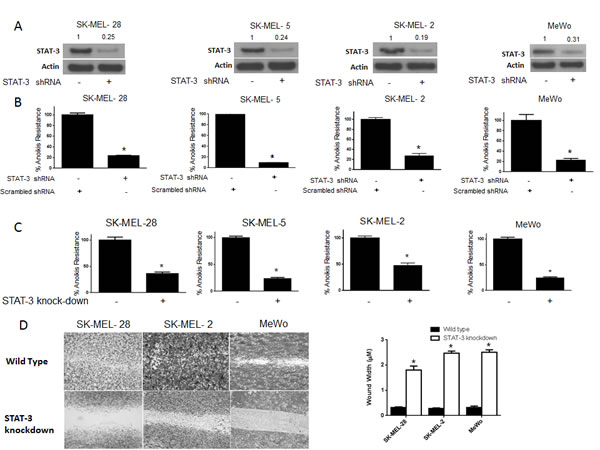 STAT3 deficient cells are sensitive to anoikis and lose migratory potential.