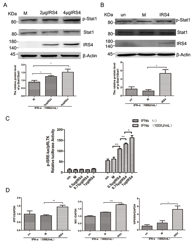 Overexpression of IRS4 enhanced IFN-a-induced activation of Jak/STAT signalling.