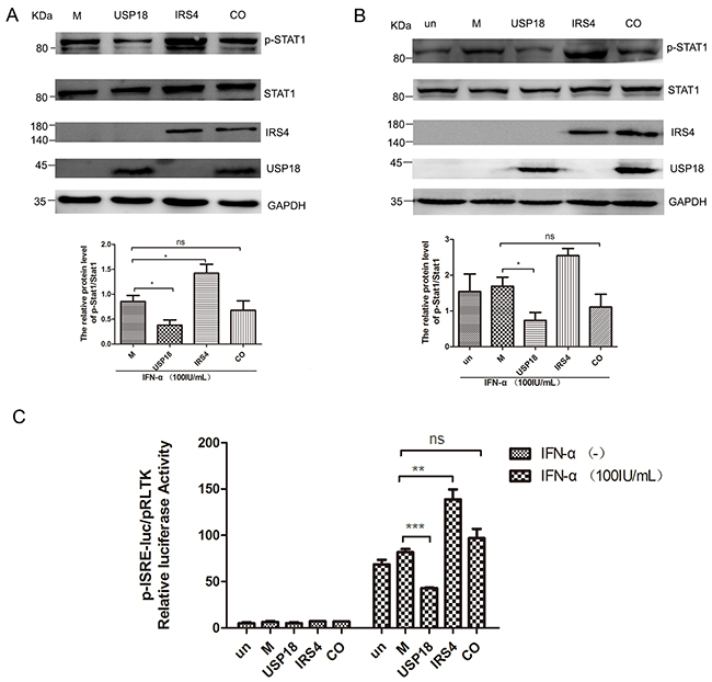 IRS4 promoted IFN-a-induced Jak/STAT signaling pathway through interact with USP18.