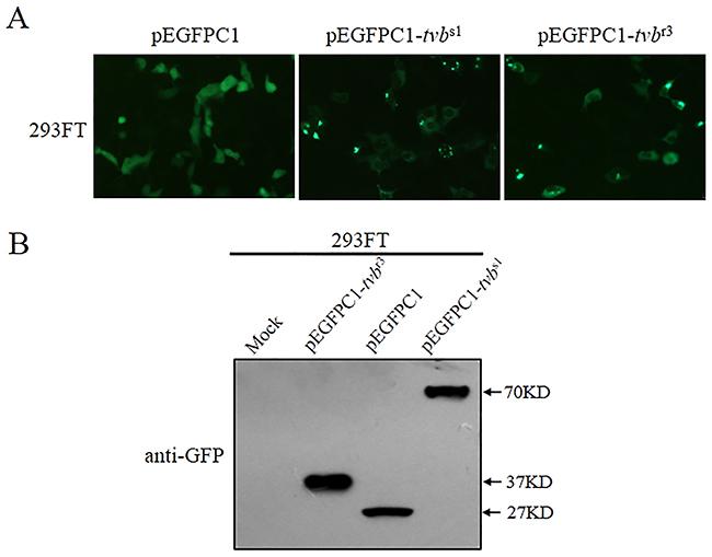 The tvbr3 generates a truncated TvbR3 receptor protein product.