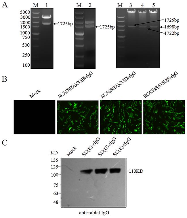 Construction and expression of SU(B)-rIgG, SU(D)-rIgG and SU(E)-rIgG immunoadhesin.