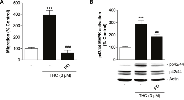 Involvement of p42/44 MAPK activation in THC-induced migration of MSCs.