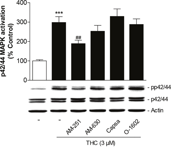 Role of cannabinoid-modulated receptors as upstream targets of p42/44 MAPK activation by THC in MSCs.