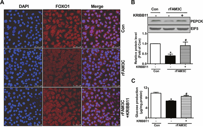 rFAM3C inactivated FOXO1 and repressed gluconeogenic gene expression in HSF1-dependent manner.