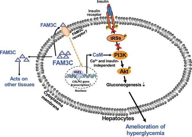 FAM3C functions as a hepatokine to suppress hepatic gluconeogenesis independent of insulin.