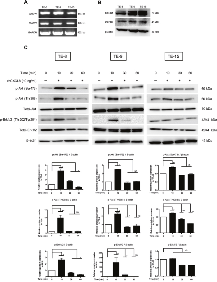 Akt and Erk1/2 were phosphorylated by CXCL8 through CXCR1 and CXCR2 in the ESCC cell lines.