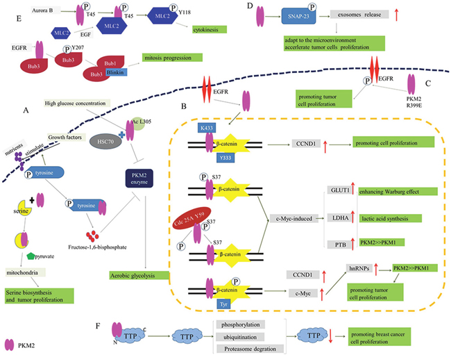 The participation of PKM2 in proliferation and glycometabolism of tumor cells.