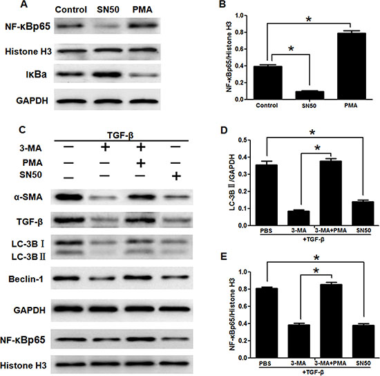 3-Methyladenine inhibited the activation of LX2 cells through autophagy regulated by the NF-κB signaling pathways.