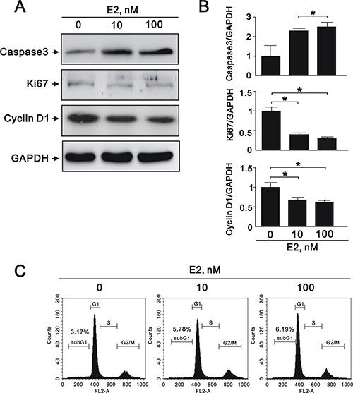E2 treatment regulated A7r5 apoptosis, proliferation, and migration.