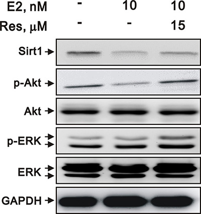 E2 and resveratrol regulated SIRT1 expression and downstream signaling.