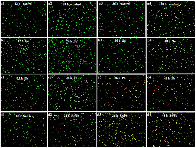 Apoptosis observation in the chicken embryonic neurocytes.